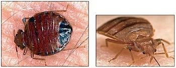 bedbug-1.jpg